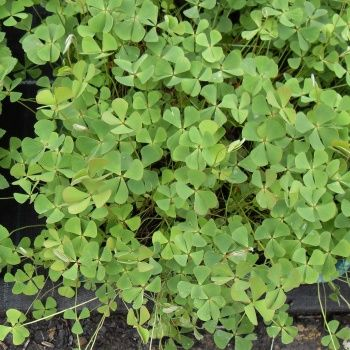 Marsilea Quadrifolia-7 cm pots