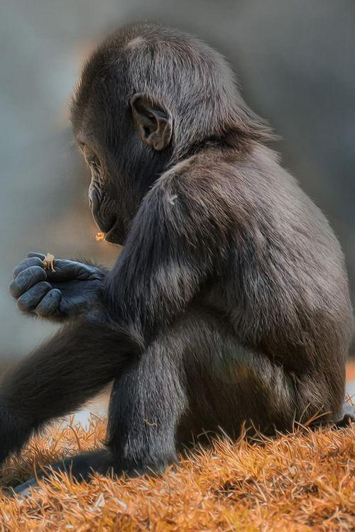 1438 besten monkeys bilder auf pinterest animal kingdom babytiere und affen. Black Bedroom Furniture Sets. Home Design Ideas