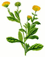 Marigold/Calendula (Calendula officinalis)::Traditionally, it has been used to treat conjunctivitis, blepharitis, eczema, gastritis, minor burns including sunburns, warts, and minor injuries such as sprains and wounds.