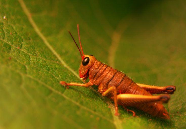 Saltamontes   invertebrados que tienen un exoesqueleto articulado de quitina. Abarcan trilobitomorfos, merostomas, picnogónidos, arácnidos, crustáceos, miriápodos e insectos.  reducido un par de apéndices articulados. Algunos artópodos son terrestres, otros acuáticos, y los hay que son parásitos de otros animales, principalmente de vertebrados.
