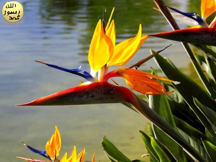 Cennet Kuşu çiçeği tohumları veya ilkbahar mevsiminde alınan piliçleri sayesinde çoğaltılır.