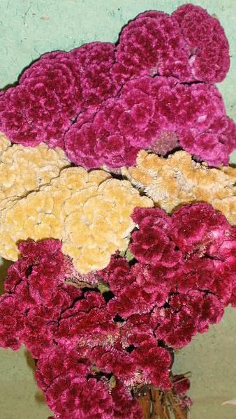 Dried Celosia Coxcomb, so exotic yet beautiful!