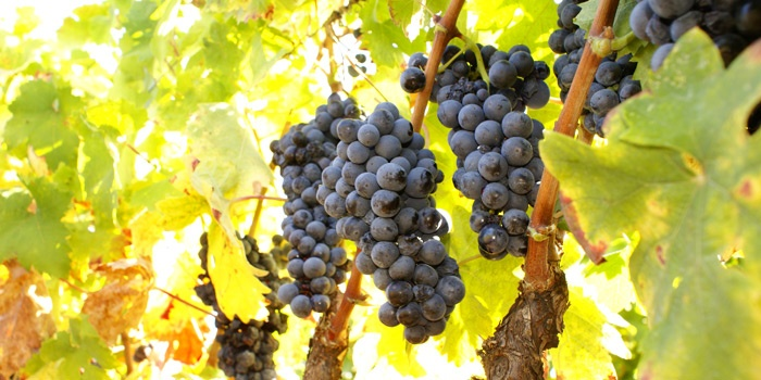 grapes and wine from Puglia