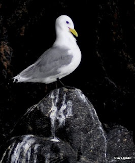 Black legged Kittiwake, Runde, Norway by Olav Lepsøe.