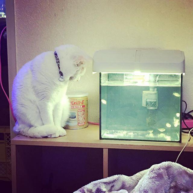 にゃっしーがお魚に興味持つなんて珍しい〜🙄 まぁフグ可愛いもんな💓笑 #愛猫 #猫 #cat #ペット #pet #白猫 #拾い猫 #捨て猫出身 #雄猫 #アクアリウム #aquarium #新入り #フグ #名前忘れた #プードルフグ #みたいな感じ 笑 #淡水と海水混ぜるやつ #それも忘れた 笑 #興味津々 #珍しい #可愛いもんね #見てて楽しいよね