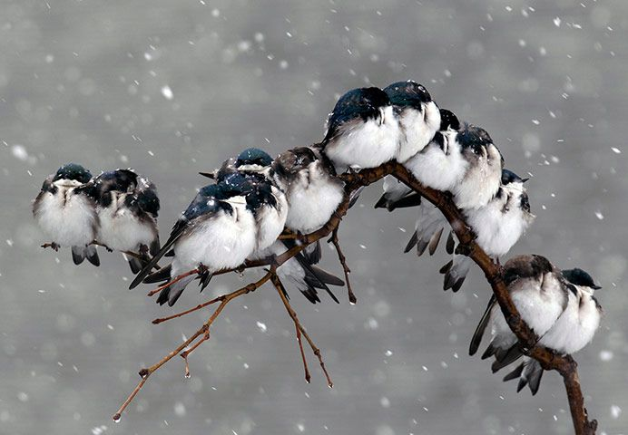 Tree swallows perch on a branch during a spring snowstorm in the US town of Pembroke, New York state.