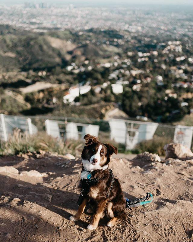Kiba the Mini Aussie (@kiba aussie) • Dog hiking hollywood sign