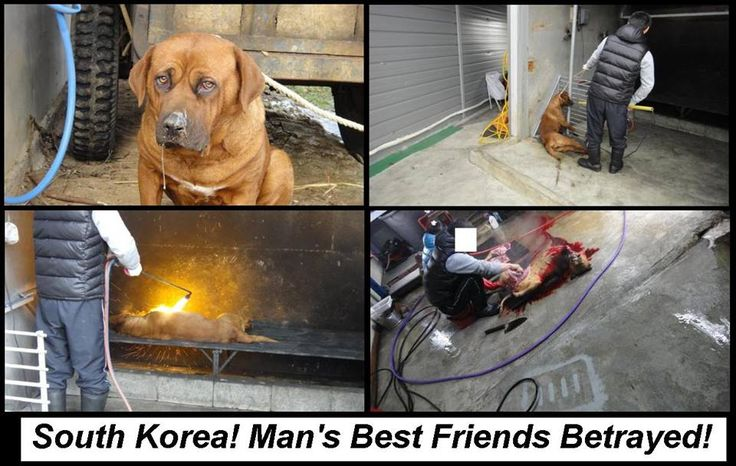 SPEAK OUT! TELL SOUTH KOREA:  Close all illegal dogslaughterhouses   & restaurants in Gupo market now! What is shocking is that all these unspeakable cruelties are illegal, even by South Korea's (weak) Animal Protection Law & various other laws governing their country. Brave and dedicated animal rights activists in South Korea have been campaigning to ban this industry for many years without much success because they are a small minority compared to the total population. PLZ SIGN AND SHARE!