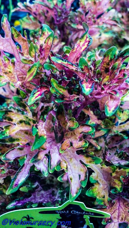 Hermit Crab coleus from Under the Sea collection.