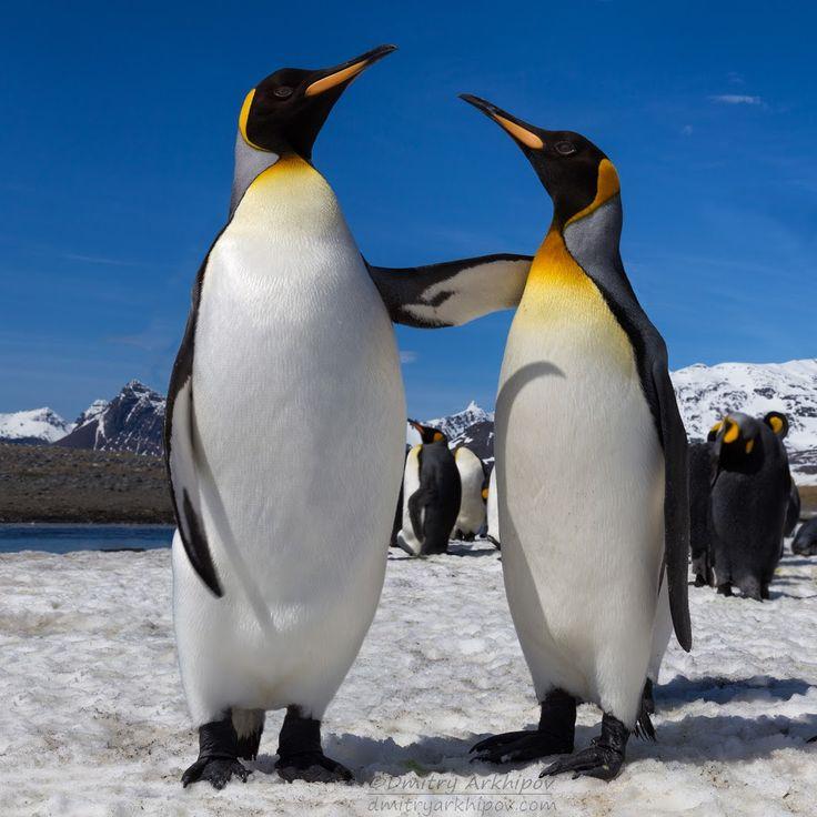 картинки антарктического пингвина замке