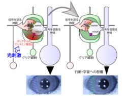 brain glial cells & consciousness / 意識はグリア細胞の活動から? - NIPS、パラダイム・シフトを迫る成果を発表