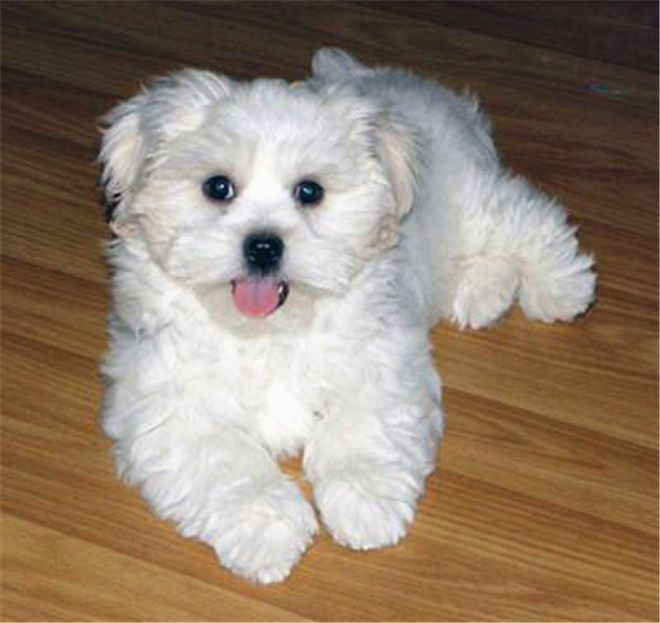 What Breed Of Dog Is A Maltese Facts And Pictures Maltese Dogs