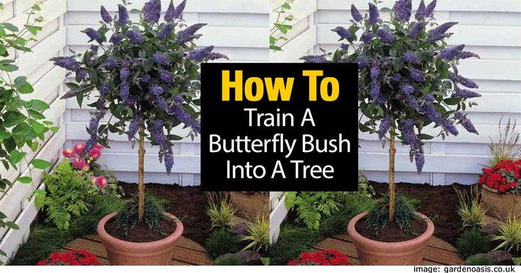"I have always loved to see plants ""trained"" into small trees, especially when they are plants we don't normally see grown as trees. Plants like lantana standard or coleus tree. The buddleia or the butterfly bush is another one. In some states the buddleia is considered a invasive species (BBC)..."