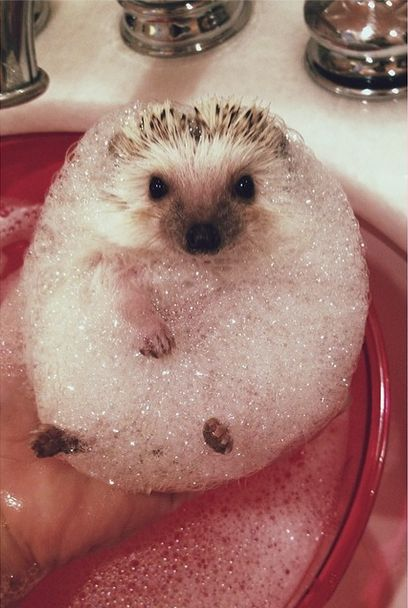 Bubble bath anyone? Bubbly hedgie hedgehog! How cute!