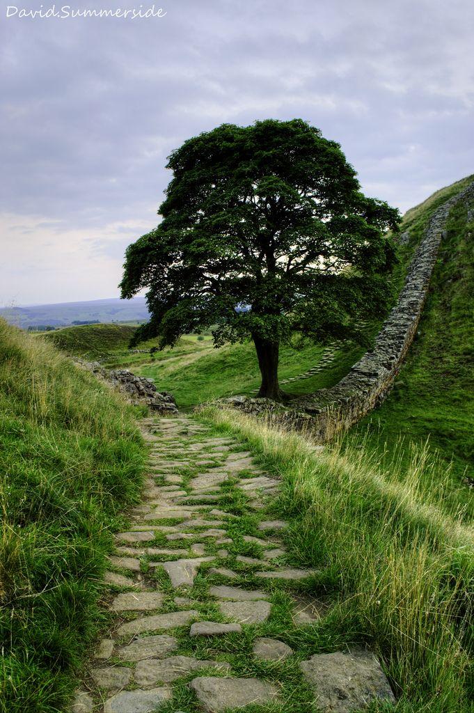 Sycamore tree at Hadrian's Wall, Northumberland, England byDavid.Summerside