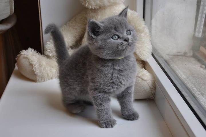 britse korthaar kittens blauw -