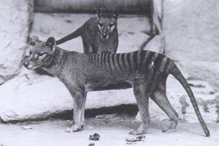 Le tigre de Tasmanie, un mammifère marsupial ! qui ressemble étonnamment à un chien...