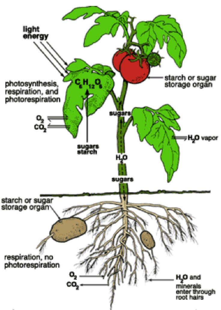How to grow tomatoes and potatoes on one plant #gardening #tomatoes #dan330 http://livedan330.com/2013/09/24/how-to-grow-tomatoes-and-potatoes-on-one-plant/