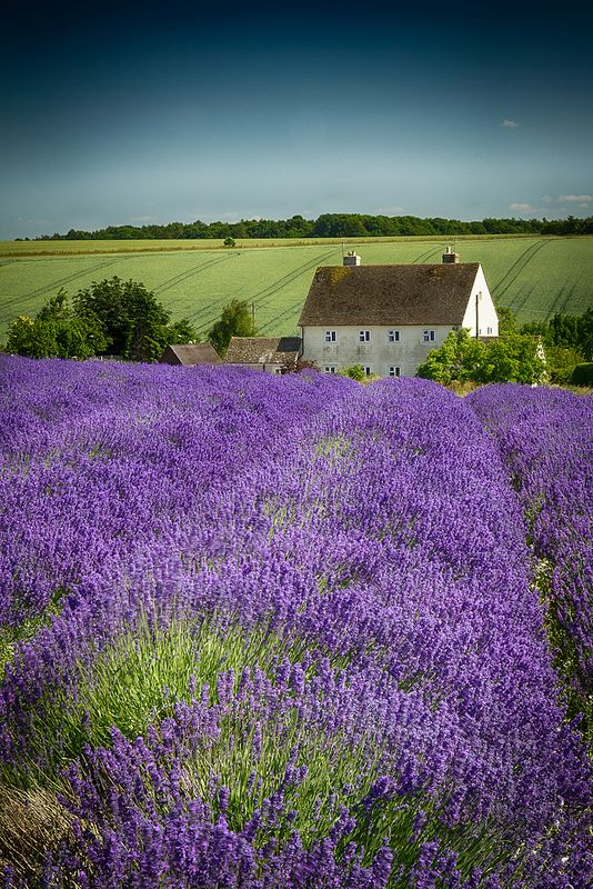 Lavendar fields in Gloucestershire, England