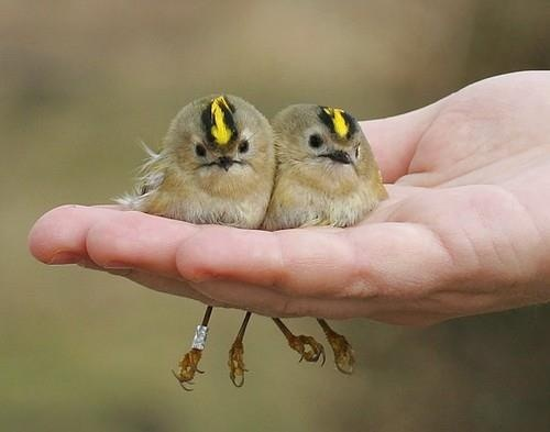 Two birds in the hand is worth four in the bush? Adorable!Goldencrown Kinglet, Little Birds, Crowns Kinglet, Pretty Birds, Beautiful Birds, Golden Crowns, Baby Birds, Animal, Feathers Friends