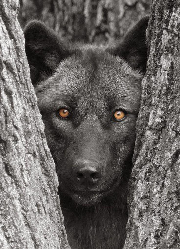 20 photos sombres et sublimes dans l'intimité du loup noir | Buzzly