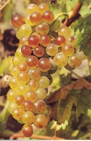 St Cyprien : Le Muscat de Rivesaltes est un vin doux naturel
