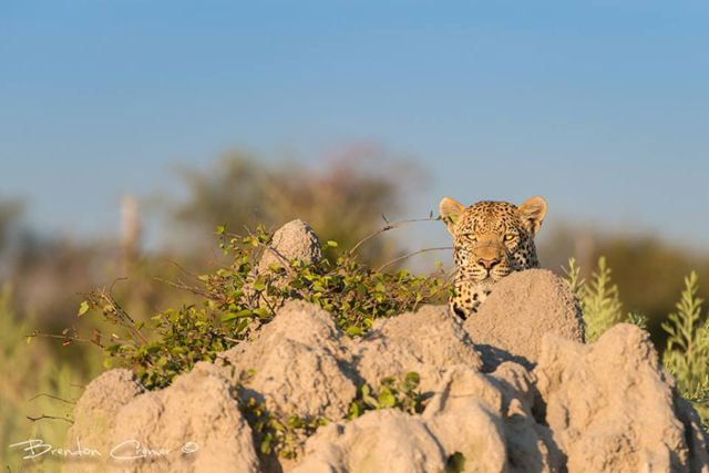 Peek-a-boo. Click on the photo for more funny big cat photos