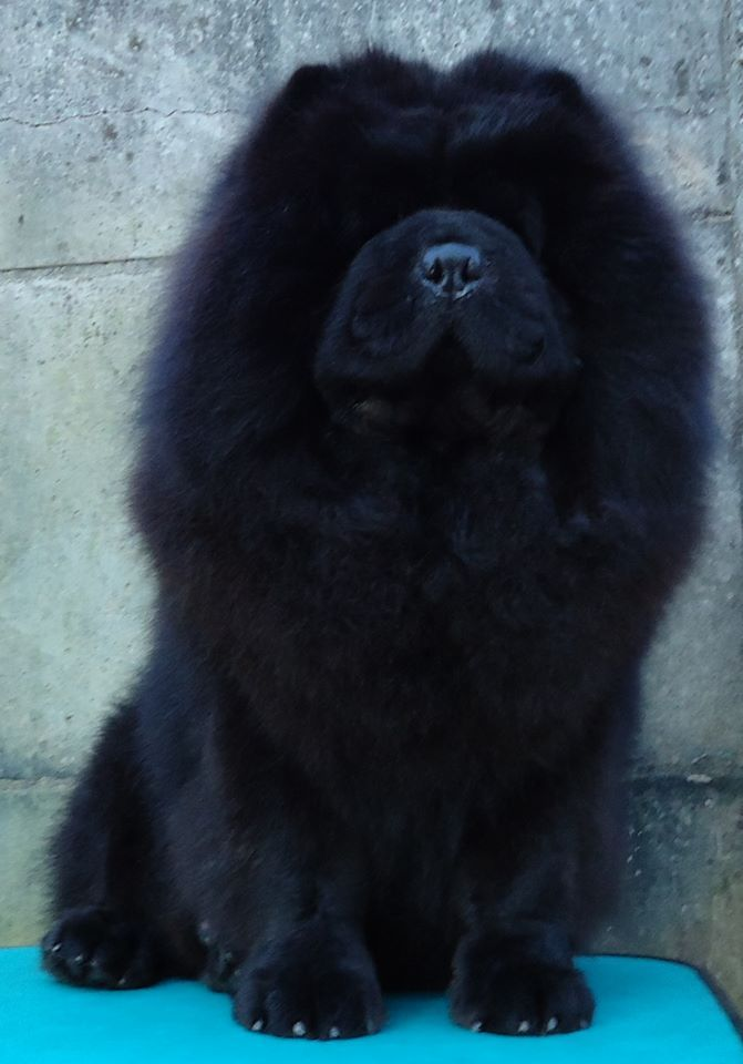 Black Chow Chow. This looks like a magical creature. - syzygy