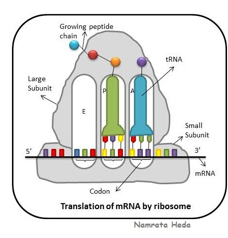 protein systhesis Protein synthesis primer: it's all about mtor to understand protein synthesis, it's important to become better acquainted with mtor research tells us that when you force a muscle to contract against a heavy load, the primary response is an activation of protein synthesis.
