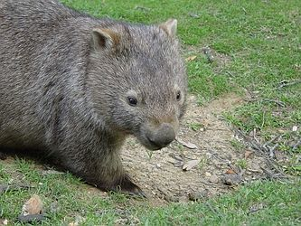 Wombat Pictures