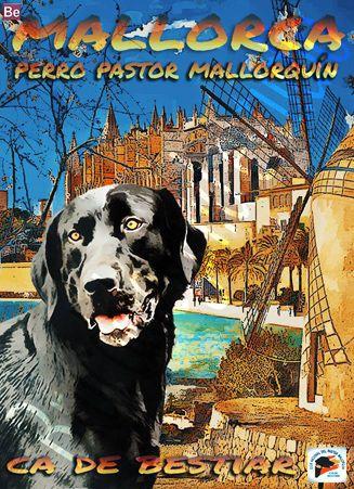 CA DE BESTIAR -perro pastor mallorquín.   MALLORCA