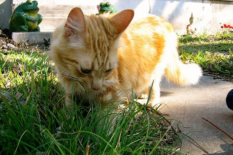 WHY DO CATS EAT GRASS? Not only is there no evidence to suggest that grass will harm your cat, but many experts theorize munching on those long green blades can be beneficial for your cat. See why on petMD.