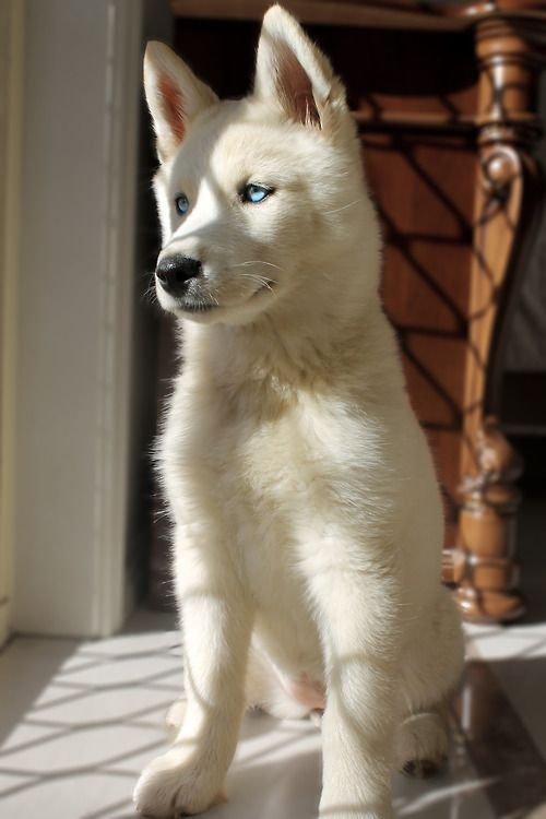 Beautiful blue-eyed white husky puppy. Dog Lover?