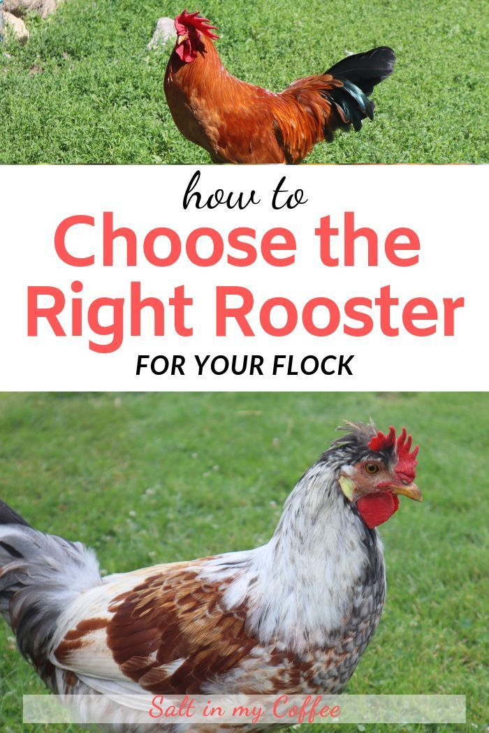 Choosing the Best Rooster for Your Flock   Chickens ...