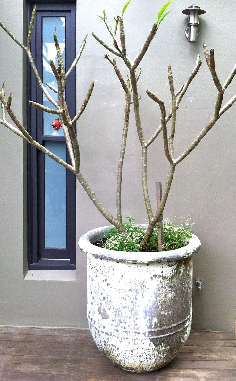 Beautiful shape of Frangipani in winter