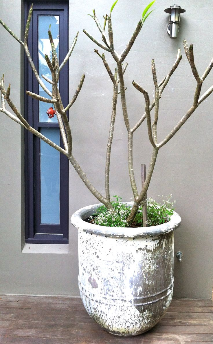 Potted Trees For Balcony