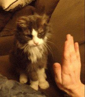 Orange Polydactyl Cat