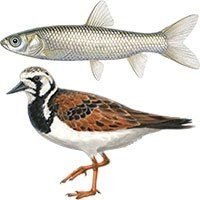 grass carp and ruddy turnstone illustrations © Emily S. Damstra