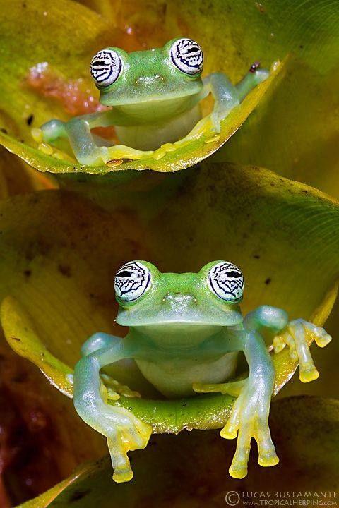 As rãs de vidro (ou glassfrogs) são rãs da família anfíbia Centrolenidae (encomende Anura). Enquanto a coloração de fundo geral da maior parte de rãs de vidro é principalmente o visco verde, a pele abdominal de alguns membros desta família istranslucent. As vísceras internas, inclusive o coração, fígado, e tratado gastrintestinal, são visíveis pela pele, daqui o nome comum.