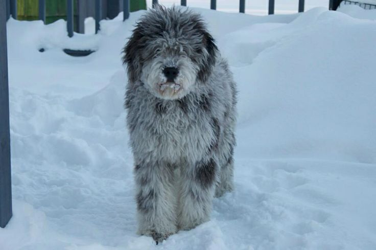 17 Best images about Doodle Doggies | Blue merle, Blue and ...