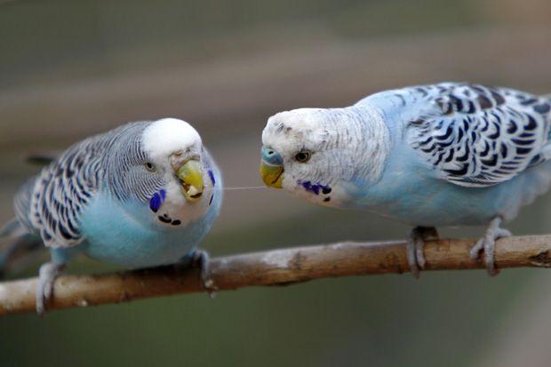 Gesundes Futter für Wellensittiche | Kuriose Tierwelt