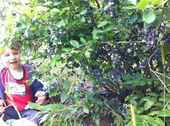 Blueberry picking in Quinn farm