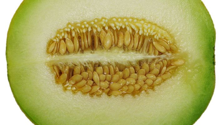 Honeydew Melon Nutrition & Health Benefits - Blood Pressure Remedies As a member of the curbitaceae family, honeydew melons are a relative of cucumbers and squash. It is thought that honeydews originated in Persia. Honeydew melon is present in Egyptian hieroglyphics dating as far back as 2,400 B.C.E.,