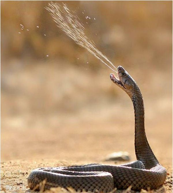 Now this is one of those shots you rarely get to see. A poisonous spitting cobra spits out some venom!