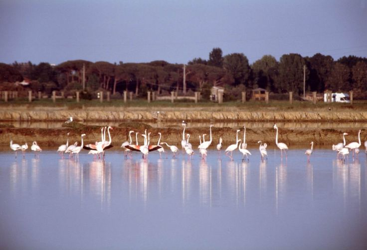 Flamingos at the natural oasis of Cervia saltworks.