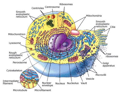 Cross Section Of Eukaryotic Cell