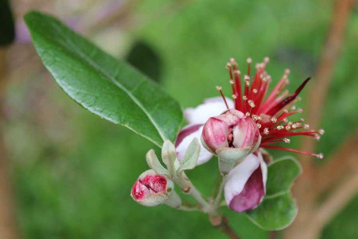 Feijoa - POD easy edible gardening
