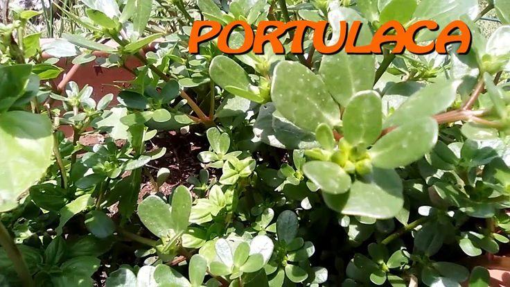 Riconoscere la Portulaca (Portulaca Oleracea) e come cucinarla