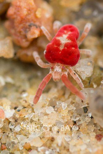 Velvet Mite (Trombidiidae) | by nickybay on flickr.com