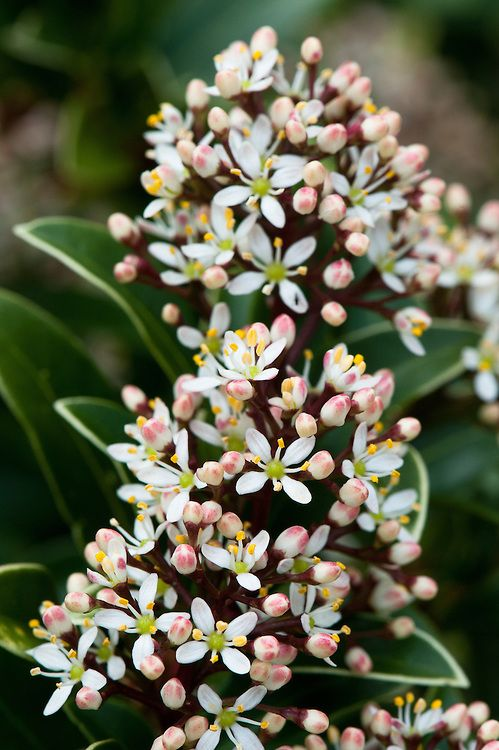 Skimmia Japonica Macpenny Dwarf Containers And Box